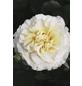 Solitärrose »Petticoat ®«, Rosa, Blüte: weiß-Thumbnail