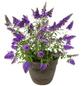 Sommerflieder, Buddleja davidii »Buzz Sky Blue (S)«, Blütenfarbe blau-Thumbnail