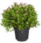 GARTENKRONE Spierstrauch, Spiraea japonica »Little Princess«, rosa/pink, winterhart-Thumbnail