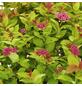 GARTENKRONE Spierstrauch Spiraea japonica »Magic Carpet -R-«-Thumbnail