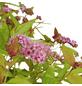 GARTENKRONE Spierstrauch, Spiraea japonica »Magic Carpet«, rosa/pink, winterhart-Thumbnail