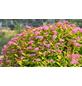 GARTENKRONE Spierstrauch, Spiraea japonica »Magic Carpet «, rosa/pink, winterhart-Thumbnail