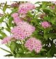 GARTENKRONE Spierstrauch, Spiraea japonica »Shirobana«, Blütenfarbe rosa/pink-Thumbnail