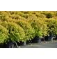 GARTENKRONE Spierstrauch Spiraea japonica »Sundrop -R-«-Thumbnail
