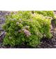 GARTENKRONE Spierstrauch, Spiraea japonica »Sundrop «, rosa/pink, winterhart-Thumbnail