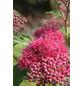 GARTENKRONE Spierstrauch Spiraea japonica »Superstar -R-«-Thumbnail
