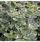 GARTENKRONE Spindelstrauch, Euonymus fortunei »Emerald Gaiety«, weiß, winterhart-Thumbnail