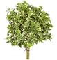 GARTENKRONE Spindelstrauch, Euonymus fortunei »Emerald Gaiety«, winterhart-Thumbnail