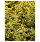 GARTENKRONE Spindelstrauch Euonymus fortunei »Emerald Gold«-Thumbnail