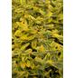 GARTENKRONE Spindelstrauch, Euonymus fortunei »Emerald Gold«, weiß, winterhart-Thumbnail