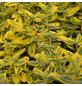GARTENKRONE Spindelstrauch, Euonymus fortunei »Emerald Gold«, winterhart-Thumbnail