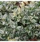 GARTENKRONE Spindelstrauch, Euonymus fortunei »Harlequin«, weiß, winterhart-Thumbnail