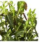 GARTENKRONE Spindelstrauch, Euonymus fortunei var. radicans, weiß, winterhart-Thumbnail