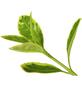 GARTENKRONE Spindelstrauch Euonymus japonicus »Aureomarginatus«-Thumbnail