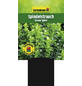 GARTENKRONE Spindelstrauch, Euonymus japonicus »Green Spire«, weiß, winterhart-Thumbnail