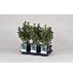 GARTENKRONE Spindelstrauch Euonymus japonicus »Grey Beauty«-Thumbnail