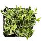 GARTENKRONE Spindelstrauch, Euonymus japonicus »Grey Beauty«, weiß, winterhart-Thumbnail