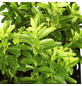 GARTENKRONE Spindelstrauch Euonymus japonicus »Microphyllus Gold«-Thumbnail