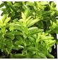 GARTENKRONE Spindelstrauch, Euonymus japonicus »Microphyllus Gold«, weiß, winterhart-Thumbnail