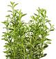 GARTENKRONE Spindelstrauch Euonymus japonicus »Microphyllus Var.«-Thumbnail