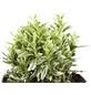 GARTENKRONE Spindelstrauch, Euonymus japonicus »Microphyllus Var.«, weiß, winterhart-Thumbnail