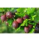 GARTENKRONE Stachelbeere, Ribes uva-crispa »Hinnomäki« Blüten: creme, Früchte: rot, essbar-Thumbnail