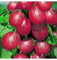 GARTENKRONE Stachelbeere, Ribes uva-crispa »Hinnonmäki« Blüten: creme, Früchte: rot, essbar-Thumbnail