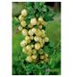 GARTENKRONE Stachelbeere Ribes uva-crispa »Inventa«-Thumbnail