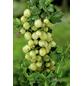GARTENKRONE Stachelbeere Ribes uva-crispa »Karlin«-Thumbnail