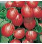 GARTENKRONE Stachelbeere, Ribes uva-crispa »Karlin«, Früchte: grün, essbar-Thumbnail