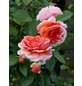 Stammrose »Chippendale®«, Rosa, Blüte: apricot-Thumbnail