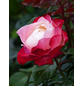 Stammrose »Nostalgie«, Rosa, Blüte: weiß/rosa-Thumbnail