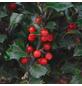 GARTENKRONE Stechpalme, Ilex meserveae »Blue Holly«, Blütenfarbe weiß-Thumbnail