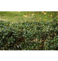 GARTENKRONE Stechpalme Ilex meserveae »Heckenstar -R-«-Thumbnail