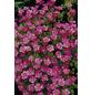 RockCollection® Steinbrech, Saxifraga arendsii, rosa, winterhart-Thumbnail
