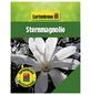 GARTENKRONE Sternmagnolie, Magnolia stellata, weiß, winterhart-Thumbnail
