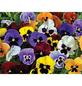 GARTENKRONE Stiefmütterchen Viola wittrockiana 'F 1 hybrid'-Thumbnail