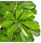 GARTENKRONE Strahlenaralie, Fingeraralie, Schefflera Arboricola, Topf-Ø: 13cm-Thumbnail