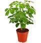 GARTENKRONE Strahlenaralie Schefflera arboricola-Thumbnail
