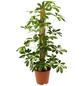 GARTENKRONE Strahlenaralie, Schefflera arboricola »in Sorten«,-Thumbnail