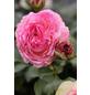 Strauchrose »Eden Rose85 ®«, Rosa, Blüte: blassrosa-Thumbnail