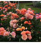 KORDES ROSEN Strauchrose, Rosa »Lambada®«, Blüte: orange, gefüllt-Thumbnail