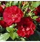 ROSEN TANTAU Strauchrose, Rosa x hybride »Paprika«, Blüte: rot, gefüllt-Thumbnail