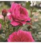 ROSEN TANTAU Strauchrose, Rosa x hybride »Soul®«, Blüte: violett, gefüllt-Thumbnail