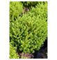 GARTENKRONE Strauchveronika Hebe  »Green Globe«-Thumbnail