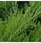 GARTENKRONE Strauchwacholder Juniperus chinensis »Mint Julep«-Thumbnail