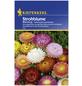 KIEPENKERL Strohblume, Helichrysum bracteatum, Samen, Blüte: mehrfarbig-Thumbnail