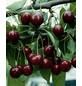 GARTENKRONE Süßkirsche, Prunus avium »Große Schwarze Knorpelkirsche«, Früchte: süß, zum Verzehr geeignet-Thumbnail