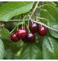 GARTENKRONE Süßkirsche, Prunus avium »Regina«, Früchte: süß, zum Verzehr geeignet-Thumbnail