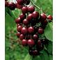 GARTENKRONE Süßkirsche, Prunus avium »Schneiders Späte Knorpel«, Früchte: süß, zum Verzehr geeignet-Thumbnail